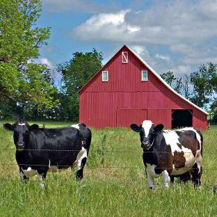 cow barn